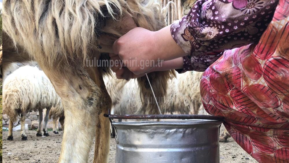 Koyun Sütü Sağma